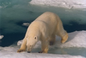 De witte beer